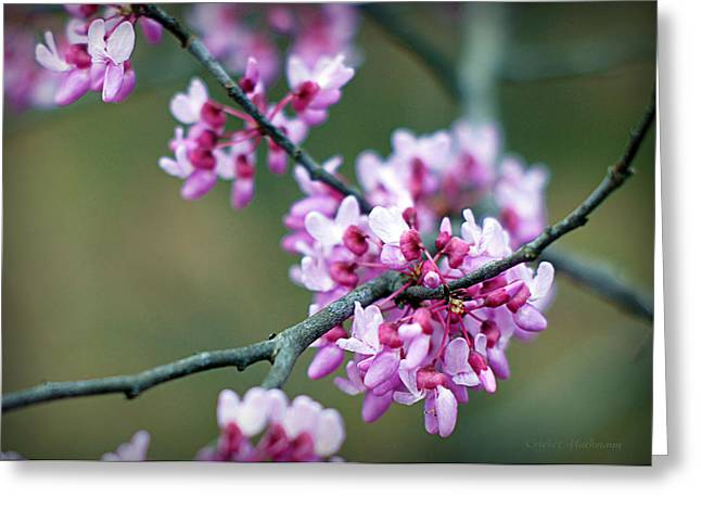 Boone County Greeting Cards - Redbud Greeting Card by Cricket Hackmann