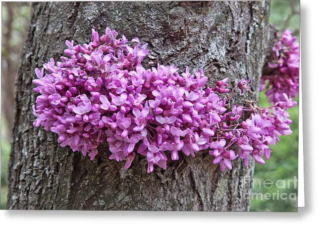 Cercis Greeting Cards - Redbud Tree In Flower Greeting Card by Inga Spence