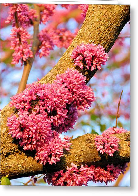 Redbud Trunk Blooms Greeting Card by Jan Amiss Photography