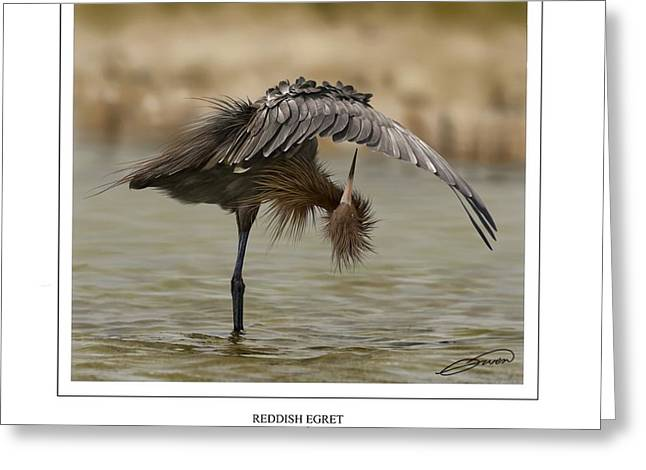 Wade Fishing Greeting Cards - Reddish Egret 2 Greeting Card by Owen Bell