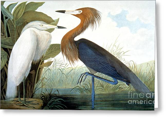 Zoology Greeting Cards - Reddish Egret, Greeting Card by Granger