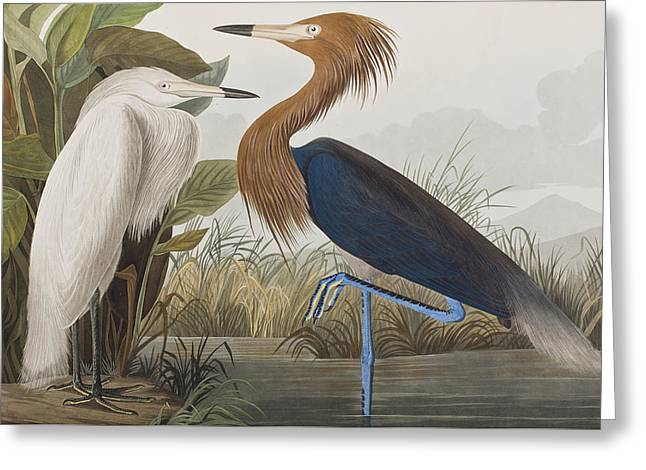 Egret Greeting Cards - Reddish Egret Greeting Card by John James Audubon