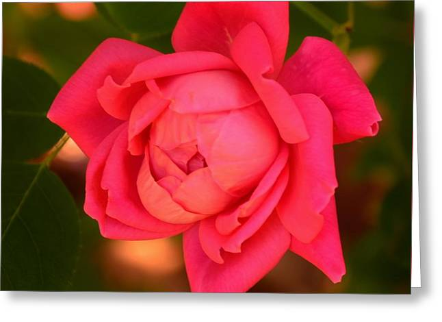 Interior Scene Greeting Cards - Reddish Pink Rose - Square Print Greeting Card by Bob Sample