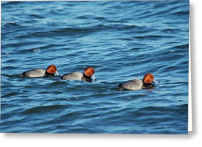 Aquatic Greeting Cards - Redhead Ducks Greeting Card by Paul O