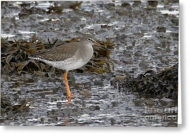 Redshank Greeting Card by Terri Waters
