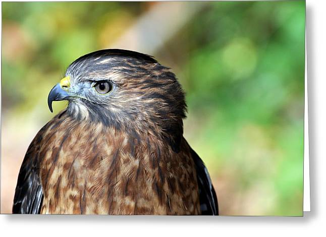Redtail Greeting Card by Marty Koch