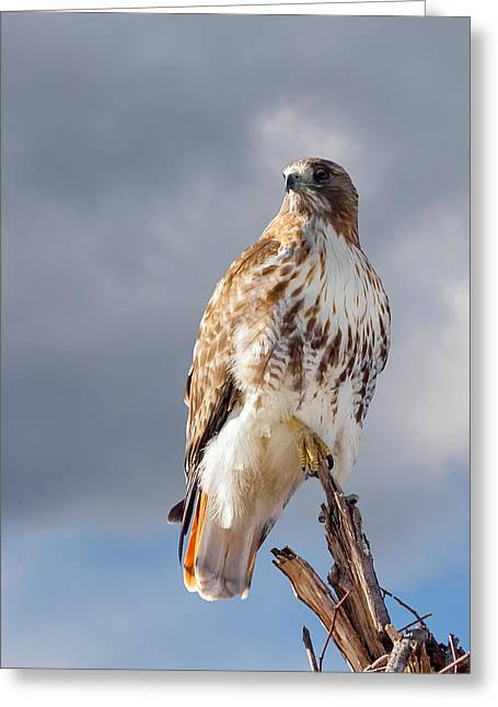 Redtailed Hawks Greeting Cards - Redtail Portrait Greeting Card by Bill  Wakeley