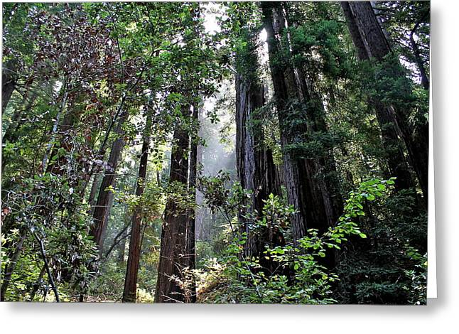 San Francisco Cali Greeting Cards - Redwood Beauty Greeting Card by Allison Liffman
