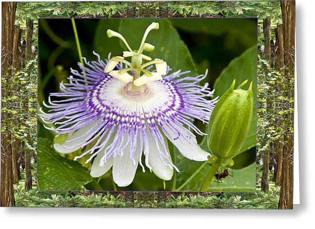 Passionflower Photographs Greeting Cards - Redwood Passion Greeting Card by Bell And Todd