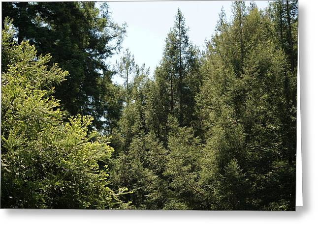 Marin County Greeting Cards - Redwoods in my Backyard Greeting Card by Ben Upham