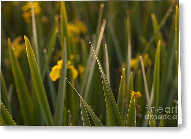Close Focus Nature Scene Greeting Cards - Reeds Along Shoreline  Greeting Card by Jim Corwin