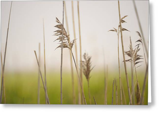Saybrook Greeting Cards - Reeds in the Mist III Greeting Card by Marianne Campolongo