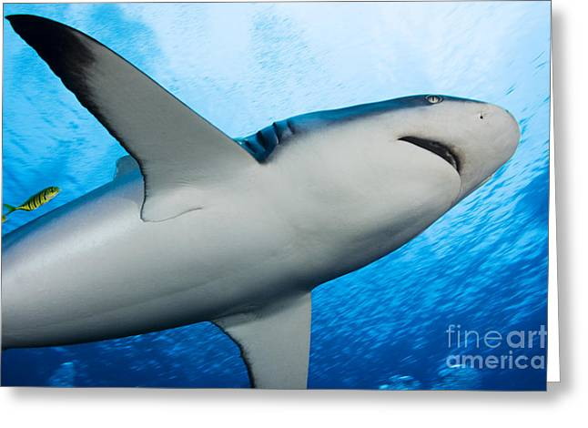 Attract Greeting Cards - Reef Shark Belly Greeting Card by Dave Fleetham - Printscapes