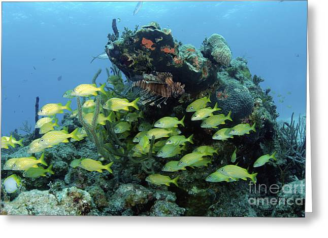 Grunts Greeting Cards - Reefscape With School Of Striped Grunts Greeting Card by Amanda Nicholls