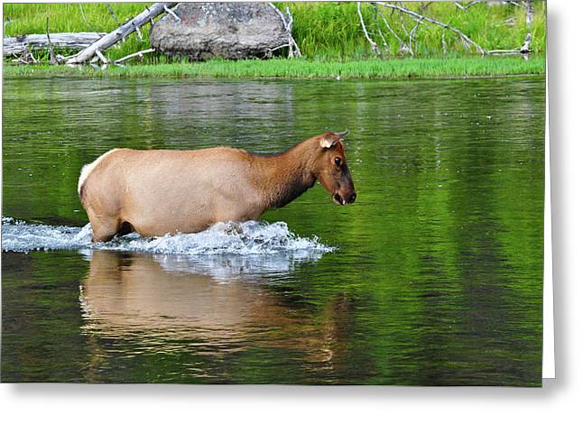 Cows Framed Prints Greeting Cards - Reflection Greeting Card by Greg Norrell