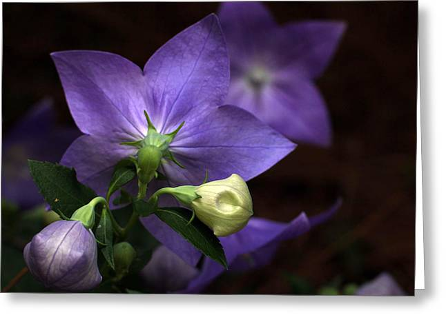 Balloon Flower Greeting Cards - Reflection Greeting Card by Sandra Powell