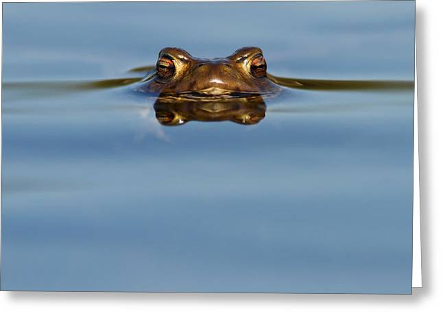 Full-length Portrait Photographs Greeting Cards - Reflections - Toad in a Lake Greeting Card by Roeselien Raimond