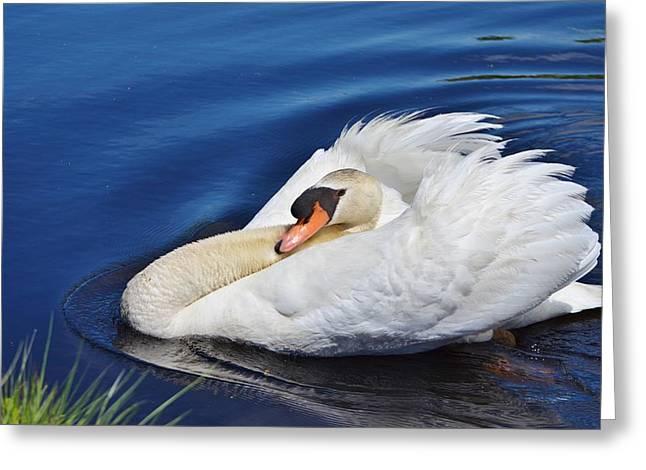 Swans... Greeting Cards - Regal Swan Greeting Card by Linda  Howes