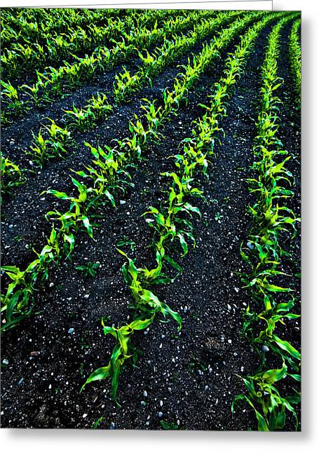 Vanishing Greeting Cards - Regimented Corn Greeting Card by Meirion Matthias