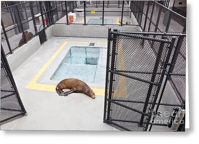 Sausalito Greeting Cards - Rehabilitated Sea Lion Greeting Card by Inga Spence