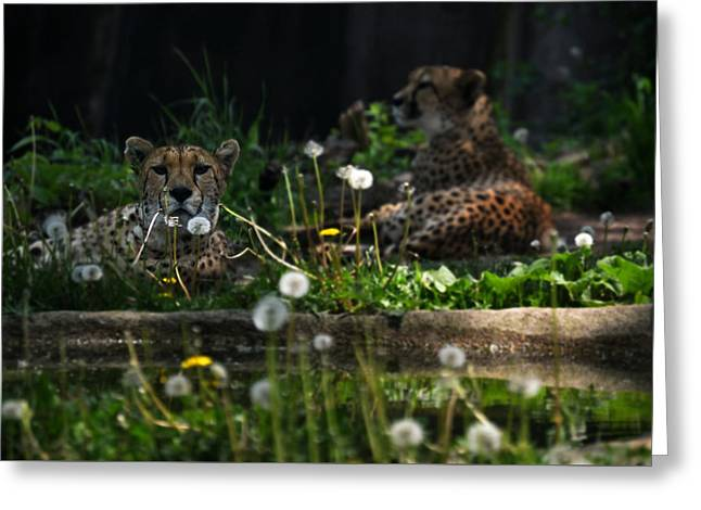 Jaguars Greeting Cards - Relaxation Time - Jaguars Greeting Card by John Krenzer