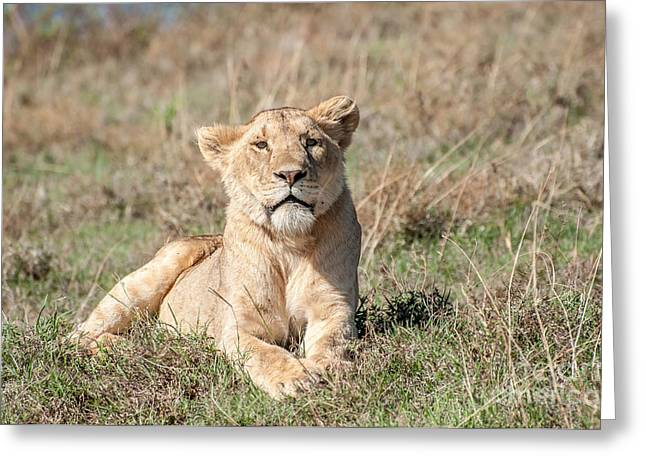 Kingpins Photographs Greeting Cards - Relaxed lioness lying in short grass. Greeting Card by Jacques Jacobsz
