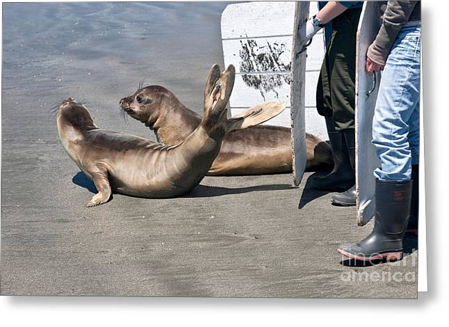 Animal Rescue Greeting Cards - Releasing Elephant Seals Greeting Card by Inga Spence