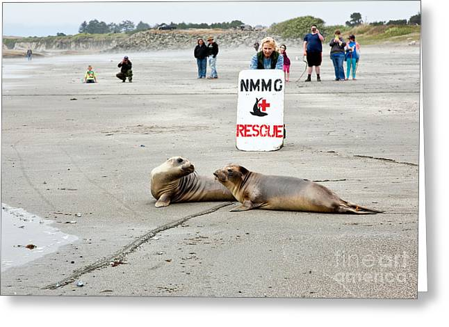 Ocean Mammals Greeting Cards - Releasing Rescued Seals Greeting Card by Inga Spence