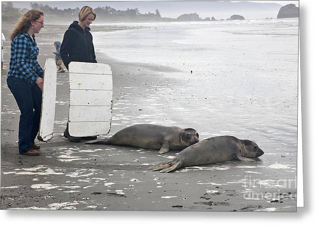 Ocean Mammals Greeting Cards - Releasing Rescued Steller Sea Lions Greeting Card by Inga Spence