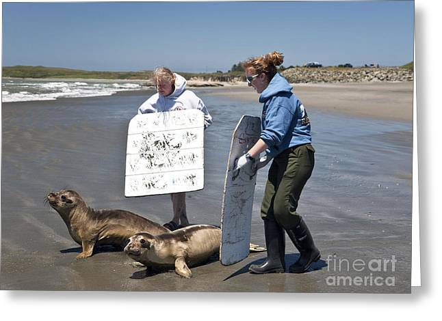 Elephant Seals Greeting Cards - Releasing Rescued Weaner Elephant Seals Greeting Card by Inga Spence