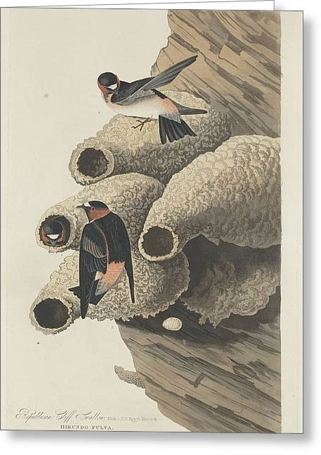 Republican Drawings Greeting Cards - Republican Cliff Swallow Greeting Card by John James Audubon