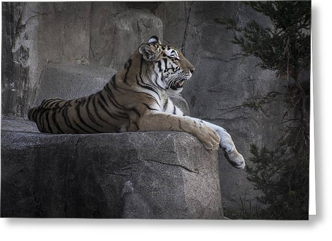 Muted Pyrography Greeting Cards - Rested Tiger on Rock Greeting Card by Matthew Goodman