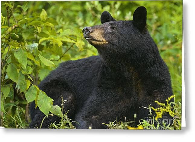 Exposure Greeting Cards - Resting Black Bear Greeting Card by Timothy Flanigan