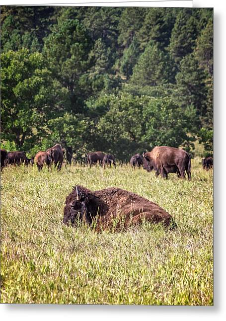 Sit-ins Greeting Cards - Resting Buffalo Greeting Card by Digital Moments
