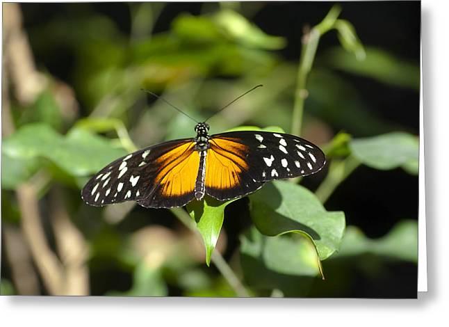 Resting Butterfly Greeting Card by Sven Brogren