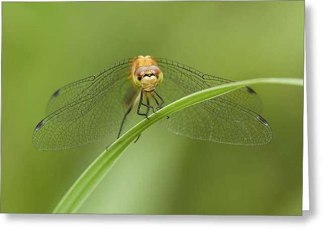 Pause Greeting Cards - Resting Dragonfly Greeting Card by Tom Biegalski
