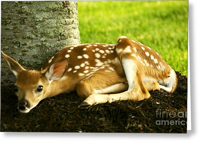 Nature Pyrography Greeting Cards - Resting Fawn Greeting Card by David Ryden