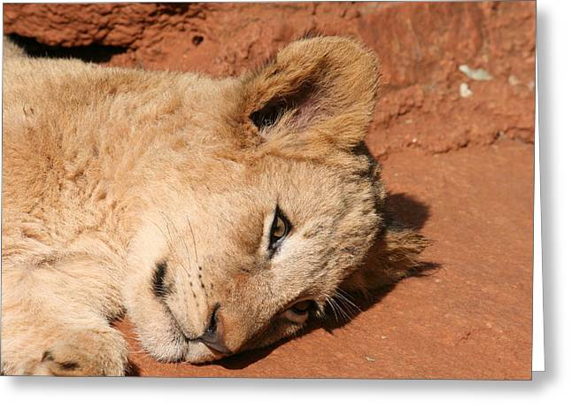 Tired On Bed Greeting Cards - Resting Lion Cub Greeting Card by Benjamin Mitchell