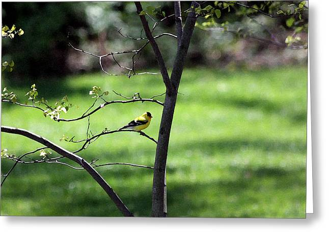 Red Bud Trees Greeting Cards - Resting Yellow Finch Greeting Card by David Bearden