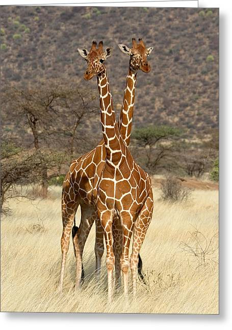 Digitally Generated Image Greeting Cards - Reticulated Giraffe Greeting Card by Panoramic Images