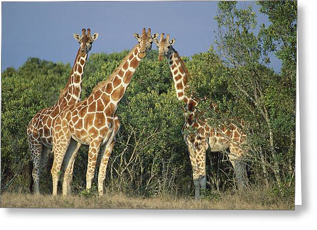 Reticulated Giraffe Trio Greeting Card by Kevin Schafer