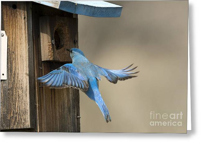 Bluebirds Greeting Cards - Returning Home Greeting Card by Mike Dawson