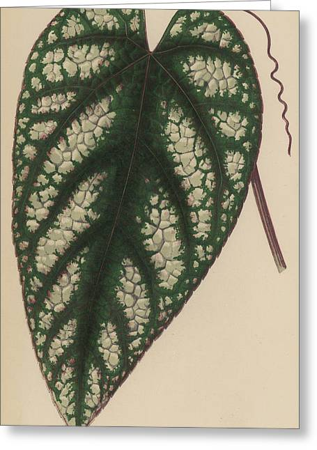 Rex Begonia Vine Cissus Discolor Greeting Card by English School