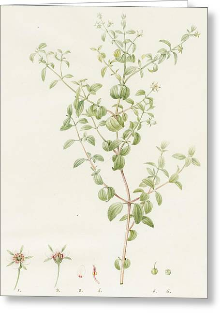 Redoute Drawings Greeting Cards - Rhexia Glandulosa Greeting Card by Pierre Joseph Redoute