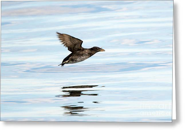 Rhinoceros Auklet Reflection Greeting Card by Mike Dawson