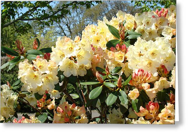 Rhodies Flowers Greeting Cards - RHODIES FLOWERS Art Yellow Orange Rhododendrons Garden Greeting Card by Baslee Troutman