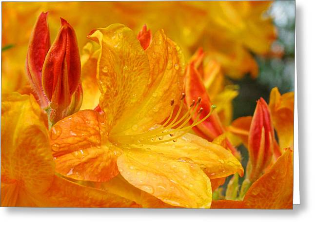 Rhodie Greeting Cards - RHODIES Orange Yellow Rhododendrons Art Prints Canvas Baslee Troutman Greeting Card by Baslee Troutman
