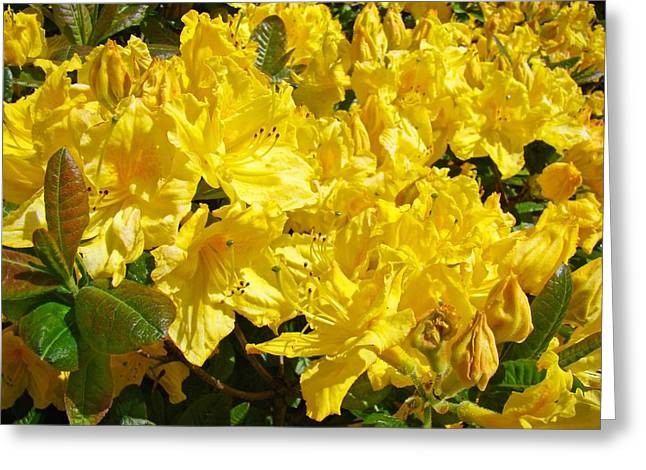 Rhodie Greeting Cards - Rhodies Yellow Rhododendrons art prints Baslee Troutman Greeting Card by Baslee Troutman