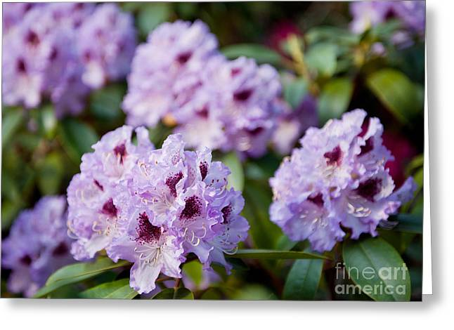 Rhododendron Called Azalea Purple Flowers  Greeting Card by Arletta Cwalina