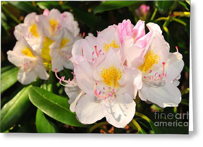 Rhododendron Greeting Card by Catherine Reusch  Daley